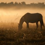 Horse silhouette on a background of dawn. Horse grazes, walks on the field