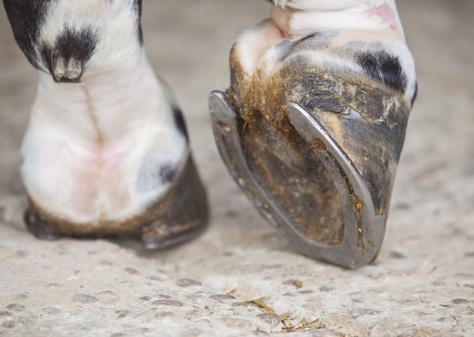 Detailed View Of Horse Foot Hoof Outside Stables